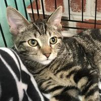 Domestic Shorthair/Domestic Shorthair Mix Cat for adoption in Boonville, Missouri - Tamatoa