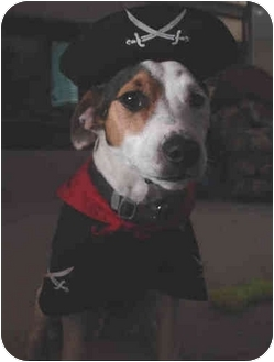 "Jack Russell Terrier Dog for adoption in Phoenix, Arizona - ""Capt"" JACK"