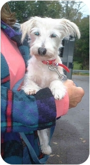 Jack Russell Terrier/Yorkie, Yorkshire Terrier Mix Dog for adoption in Honesdale, Pennsylvania - Pocket