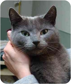 Domestic Shorthair Cat for adoption in Houghton, Michigan - Coral