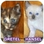 Photo 1 - Siamese Kitten for adoption in Cedar Creek, Texas - Hansel & Gretel