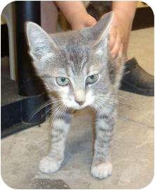 Domestic Shorthair Kitten for adoption in Larned, Kansas - Willow