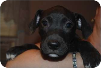 Pit Bull Terrier Mix Puppy for adoption in Medford, New Jersey - Preston
