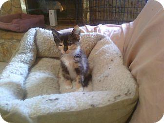 Calico Kitten for adoption in Whitney, Texas - CountryCalico