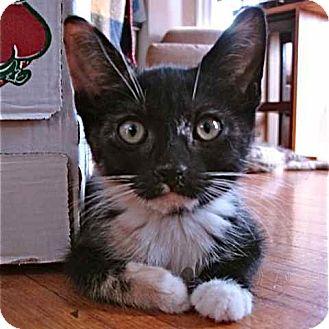 Domestic Shorthair Kitten for adoption in Toronto, Ontario - Rue