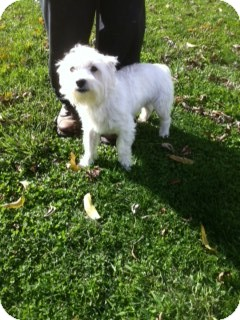 Westie, West Highland White Terrier Dog for adoption in Lexington, Kentucky - Quincy