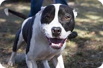 American Pit Bull Terrier Mix Dog for adoption in Gainesville, Florida - Baxter