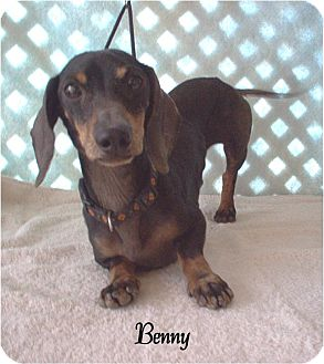 Dachshund Dog for adoption in Tucson, Arizona - Benny