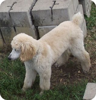 Standard Poodle Puppy for adoption in moscow mills, Missouri - Bindi ADOPTED!