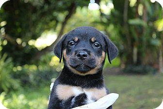 Labrador Retriever/Rottweiler Mix Puppy for adoption in Homestead, Florida - Shelby - Fran