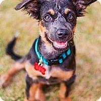 Adopt A Pet :: Summer Thyme - Scottsdale, AZ