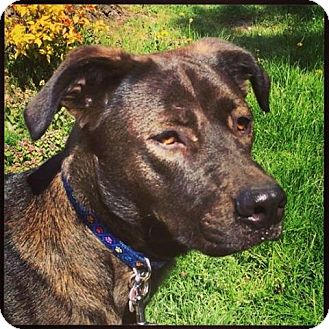 Pit Bull Terrier Mix Dog for adoption in Victoria, British Columbia - Penny