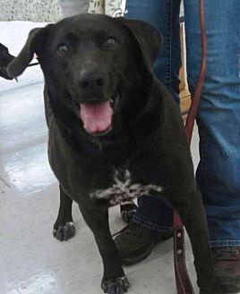 Labrador Retriever/Foxhound Mix Dog for adoption in Laconia, Indiana - Pup