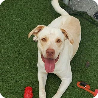 Labrador Retriever Mix Dog for adoption in Denver, Colorado - Waffles