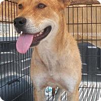Adopt A Pet :: Callie - Post, TX