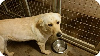Shepherd (Unknown Type)/Labrador Retriever Mix Dog for adoption in Lewisburg, Tennessee - Glory