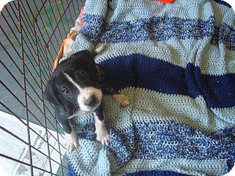 Labrador Retriever/Hound (Unknown Type) Mix Puppy for adoption in Old Bridge, New Jersey - Baylor