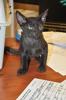 Domestic Shorthair Kitten for adoption in Pompano Beach, Florida - Jack