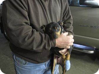Miniature Pinscher Dog for adoption in New palestine, Indiana - Ajax