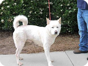Akita Dog for adoption in Virginia Beach, Virginia - Dina