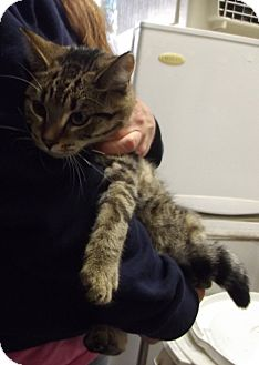 Domestic Shorthair Cat for adoption in Cheboygan, Michigan - 20749