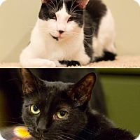 Domestic Shorthair Cat for adoption in Brooklyn, New York - Zack and Ziggy Play Hard & Purr Harder