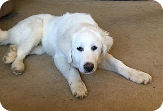 Great Pyrenees Puppy for adoption in Pittsburgh, Pennsylvania - Parker