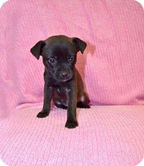 Labrador Retriever Mix Puppy for adoption in Oxford, Connecticut - Queen
