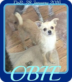 Pomeranian/Terrier (Unknown Type, Small) Mix Dog for adoption in Middletown, Connecticut - OBIE