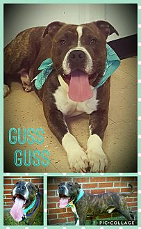 American Pit Bull Terrier Mix Dog for adoption in Hopewell, Virginia - GUSSGUSS