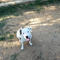 Staffordshire Bull Terrier Mix Puppy for adoption in Springtown, Texas - Sabo