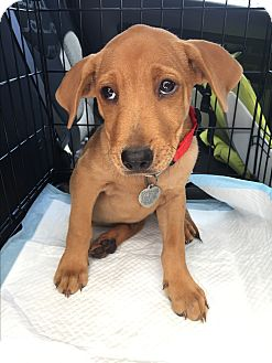 Labrador Retriever Mix Puppy for adoption in Englewood, New Jersey - Clay