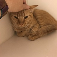 Domestic Shorthair Cat for adoption in Henderson, North Carolina - Indie