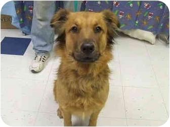 Golden Retriever/Chow Chow Mix Dog for adoption in Batavia, Ohio - Teddy