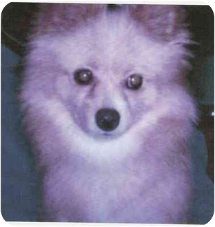 Pomeranian Dog for adoption in Sugar Land, Texas - Ginger