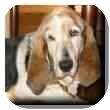 Basset Hound Dog for adoption in Marietta, Georgia - Daisy Mae