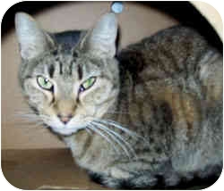 Domestic Shorthair Cat for adoption in Marseilles, Illinois - Mittens