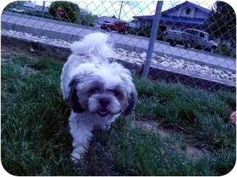 Shih Tzu Dog for adoption in Meridian, Idaho - Robert