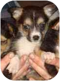 Chihuahua Mix Puppy for adoption in Foster, Rhode Island - Cadence