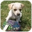 Photo 1 - Chihuahua Mix Puppy for adoption in Brownsville, Tennessee - Meko