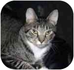 American Shorthair Cat for adoption in Lake Ronkonkoma, New York - Kit Kat