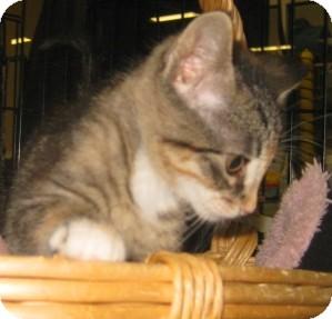 American Shorthair Kitten for adoption in Dallas, Texas - Ember