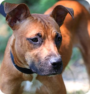 Boxer Mix Dog for adoption in Worcester, Massachusetts - Kenzie