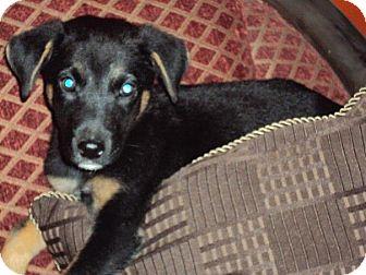 German Shepherd Dog Mix Puppy for adoption in San Diego, California - Zeus