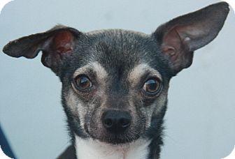 Chihuahua/Italian Greyhound Mix Dog for adoption in Atlanta, Georgia - Fenway