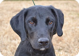 Labrador Retriever/Spaniel (Unknown Type) Mix Puppy for adoption in Westport, Connecticut - *Charger - PENDING