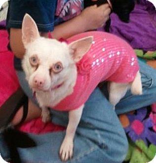 Chihuahua Mix Dog for adoption in Encinitas, California - Chile Bean