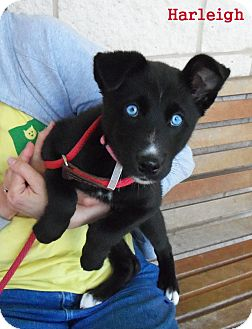 Husky Mix Puppy for adoption in Slidell, Louisiana - Harleigh