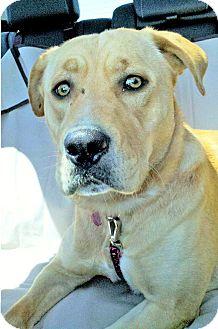 Labrador Retriever/Pit Bull Terrier Mix Dog for adoption in Wichita, Kansas - Luxey