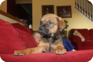 Rottweiler/Labrador Retriever Mix Puppy for adoption in Marlton, New Jersey - Spencer